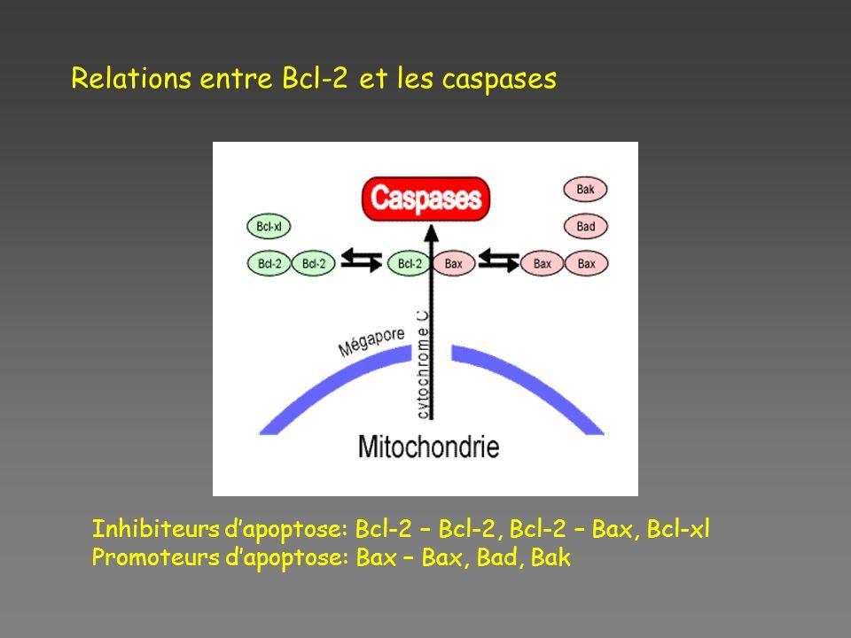 Relations entre Bcl-2 et les caspases