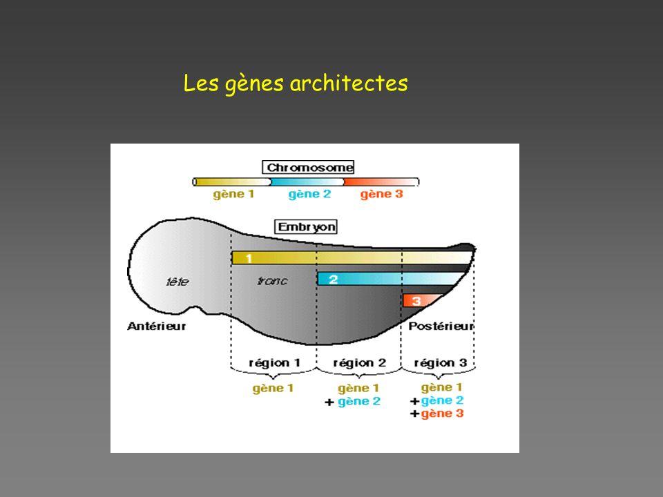 Les gènes architectes