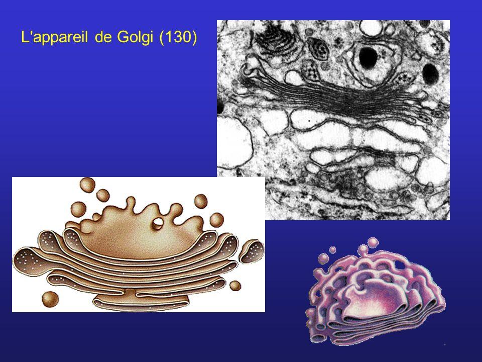 L appareil de Golgi (130)