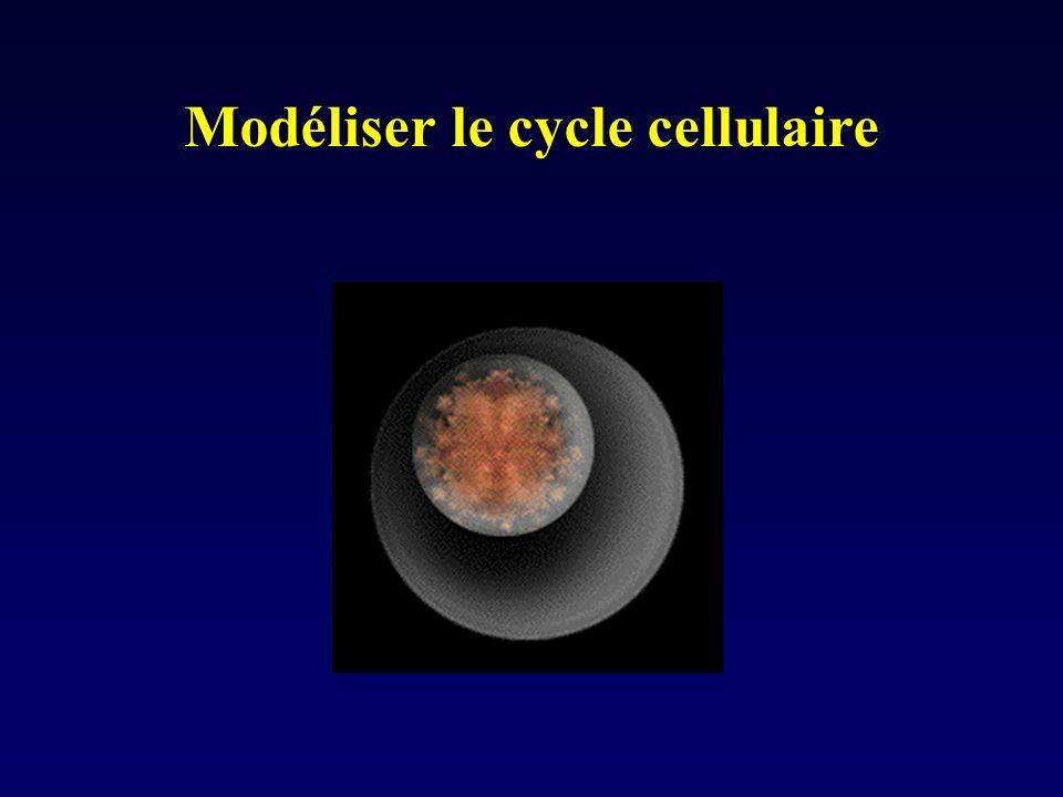 Modéliser le cycle cellulaire