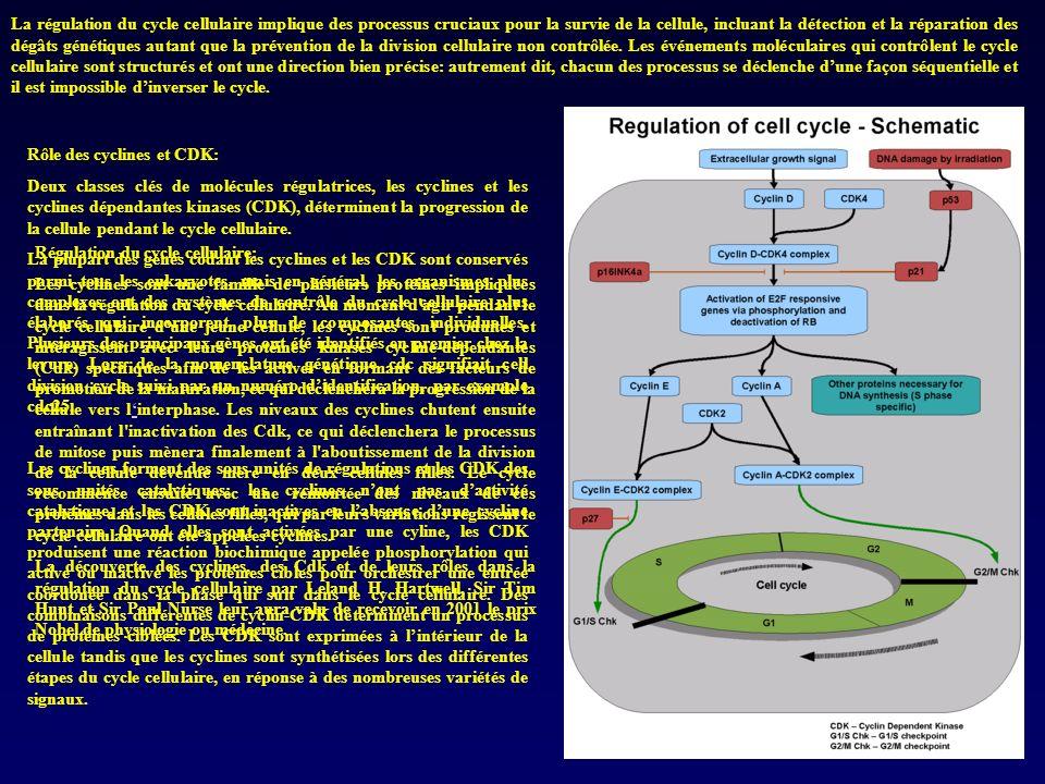La régulation du cycle cellulaire implique des processus cruciaux pour la survie de la cellule, incluant la détection et la réparation des dégâts génétiques autant que la prévention de la division cellulaire non contrôlée. Les événements moléculaires qui contrôlent le cycle cellulaire sont structurés et ont une direction bien précise: autrement dit, chacun des processus se déclenche d'une façon séquentielle et il est impossible d'inverser le cycle.