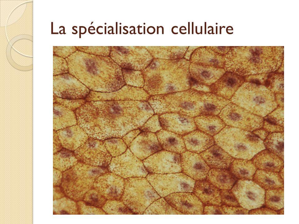 La spécialisation cellulaire