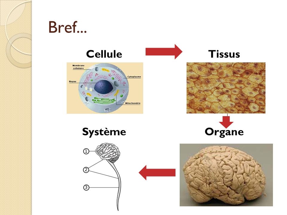 Bref... Cellule Tissus Système Organe