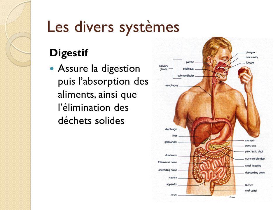 Les divers systèmes Digestif
