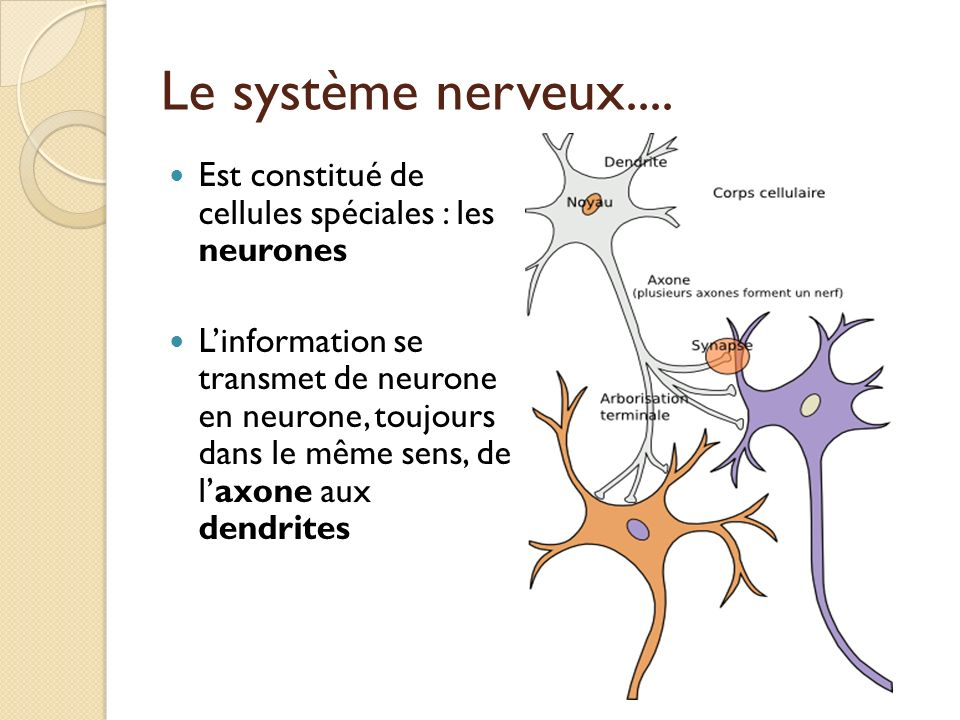 Le système nerveux.... Est constitué de cellules spéciales : les neurones.