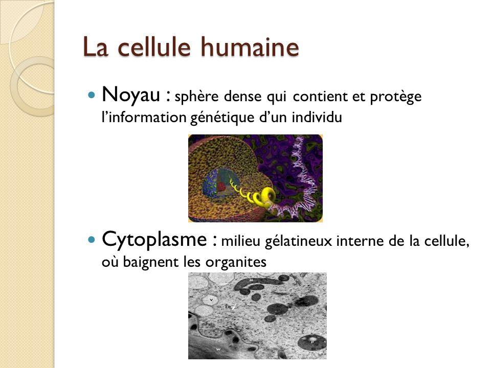 La cellule humaine Noyau : sphère dense qui contient et protège l'information génétique d'un individu.