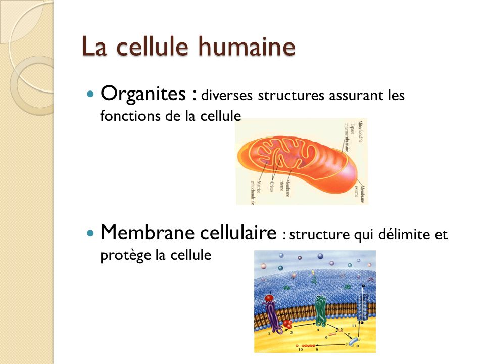 La cellule humaine Organites : diverses structures assurant les fonctions de la cellule.