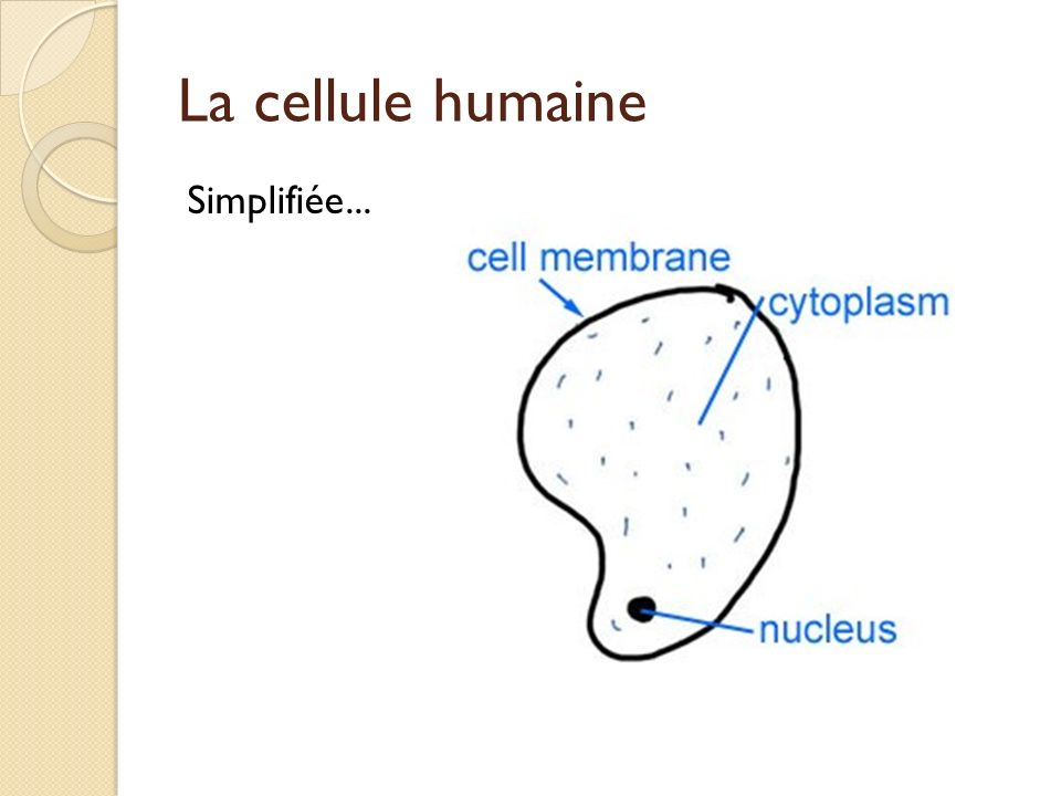 La cellule humaine Simplifiée...