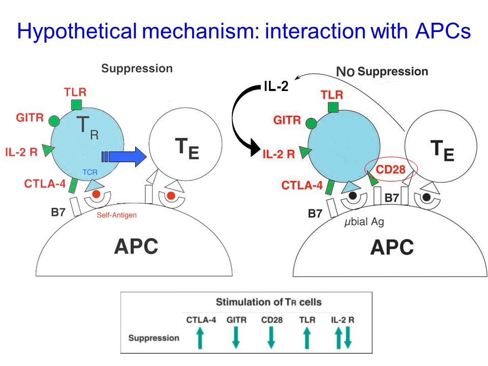 Hypothetical mechanism: interaction with APCs