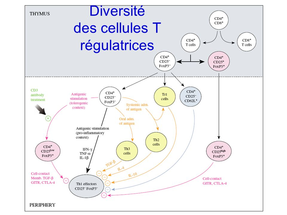 Diversité des cellules T régulatrices