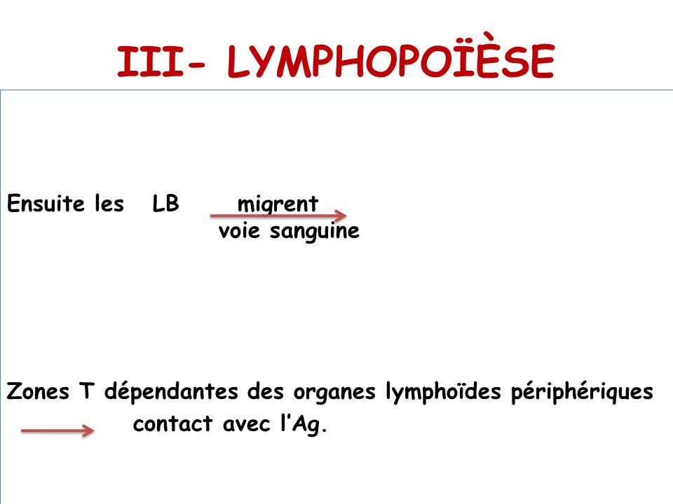 III- LYMPHOPOÏÈSE Ensuite les LB migrent voie sanguine Zones T dépendantes des organes lymphoïdes périphériques contact avec l'Ag.