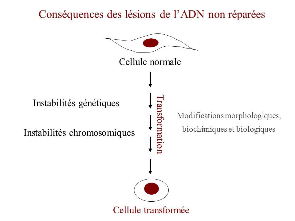 Conséquences des lésions de l'ADN non réparées