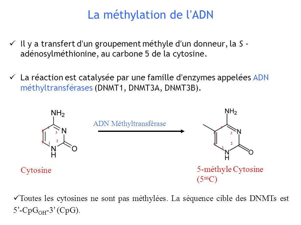 La méthylation de l'ADN