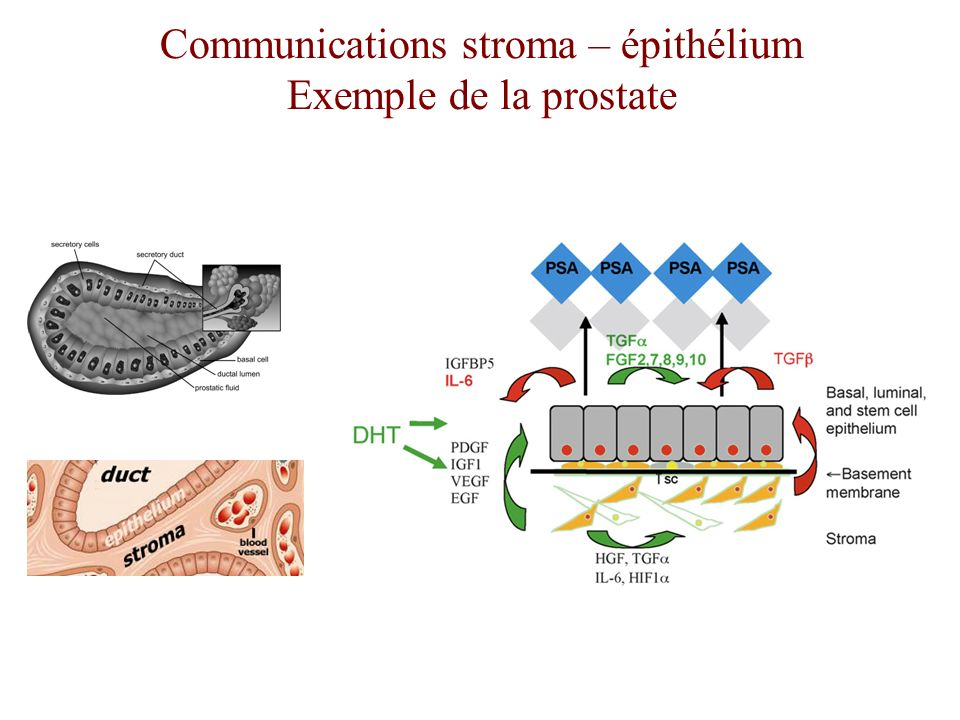 Communications stroma – épithélium