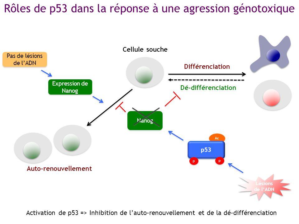 Rôles de p53 dans la réponse à une agression génotoxique