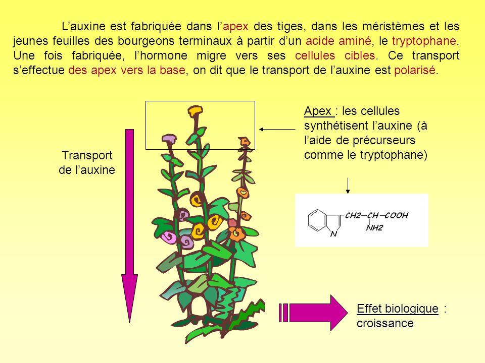 L'auxine est fabriquée dans l'apex des tiges, dans les méristèmes et les jeunes feuilles des bourgeons terminaux à partir d'un acide aminé, le tryptophane. Une fois fabriquée, l'hormone migre vers ses cellules cibles. Ce transport s'effectue des apex vers la base, on dit que le transport de l'auxine est polarisé.