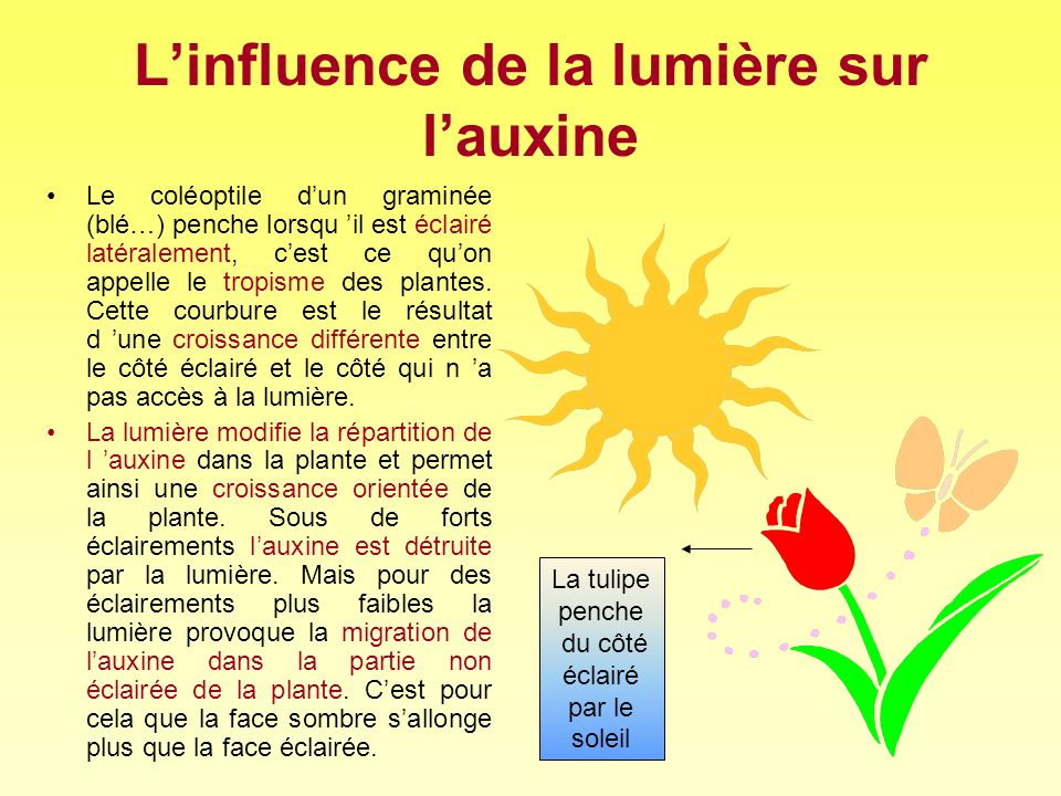 L'influence de la lumière sur l'auxine