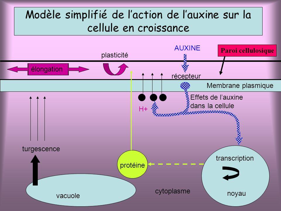Modèle simplifié de l'action de l'auxine sur la cellule en croissance
