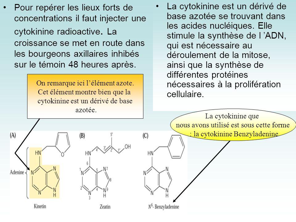 Pour repérer les lieux forts de concentrations il faut injecter une cytokinine radioactive. La croissance se met en route dans les bourgeons axillaires inhibés sur le témoin 48 heures après.