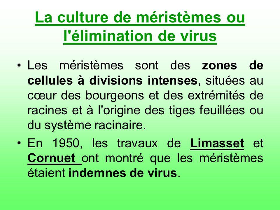 La culture de méristèmes ou l élimination de virus
