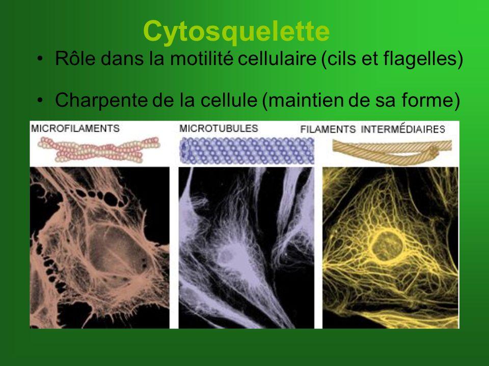Cytosquelette Rôle dans la motilité cellulaire (cils et flagelles)