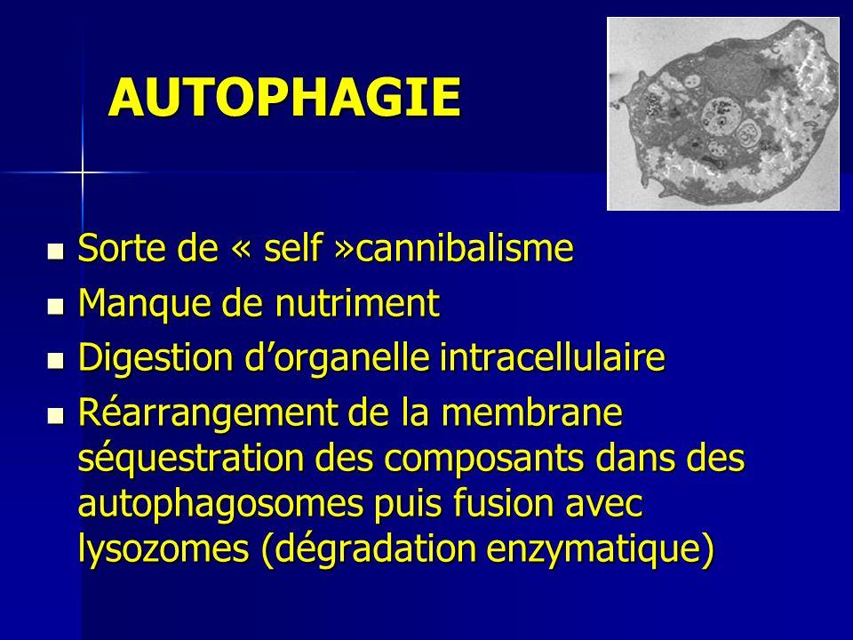 AUTOPHAGIE Sorte de « self »cannibalisme Manque de nutriment