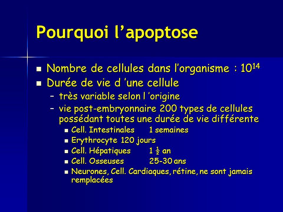 Pourquoi l'apoptose Nombre de cellules dans l'organisme : 1014