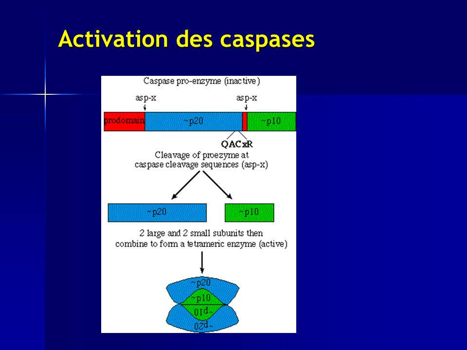 Activation des caspases