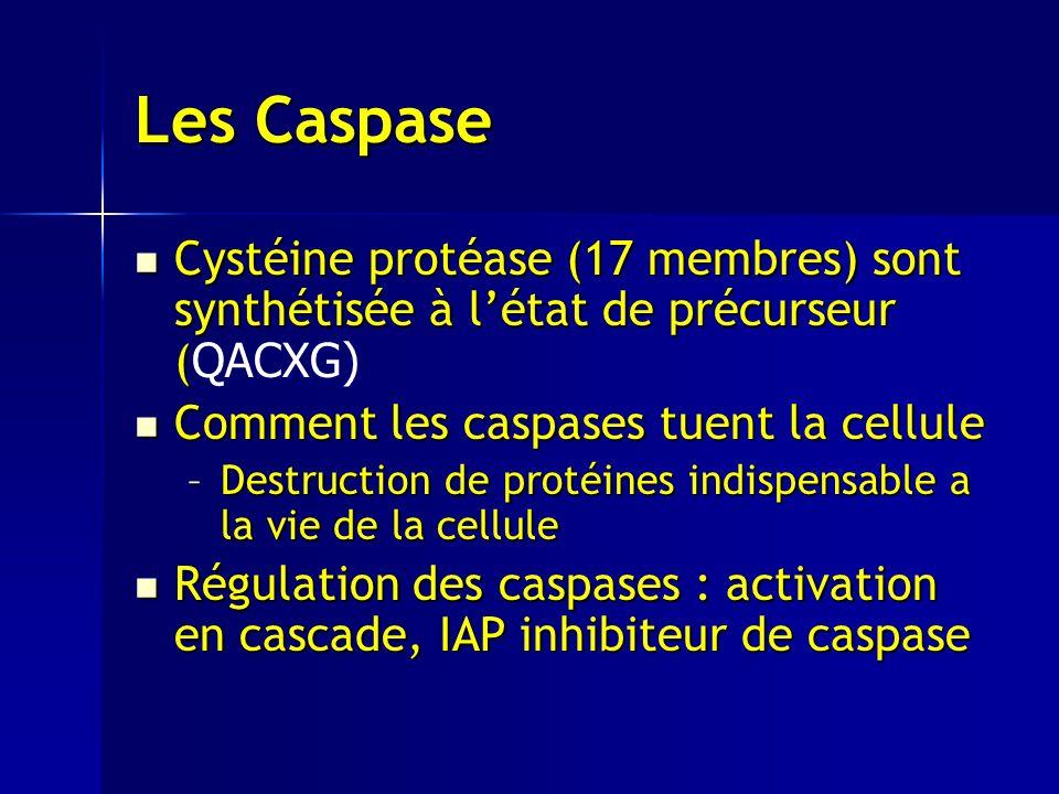 Les Caspase Cystéine protéase (17 membres) sont synthétisée à l'état de précurseur (QACXG) Comment les caspases tuent la cellule.