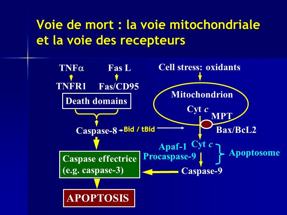 Voie de mort : la voie mitochondriale et la voie des recepteurs