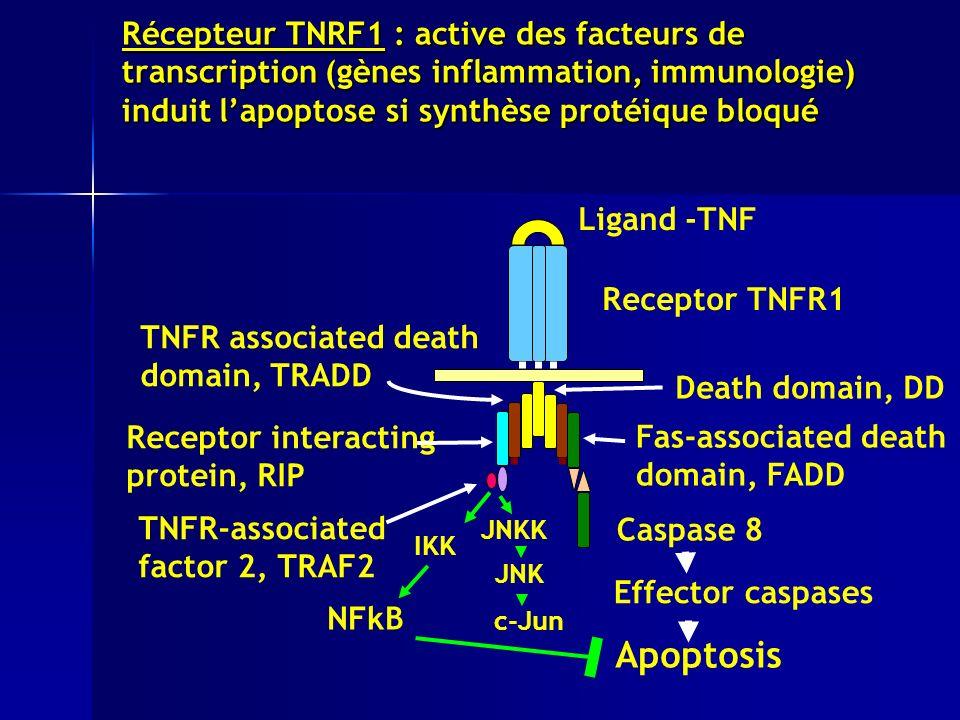 Récepteur TNRF1 : active des facteurs de transcription (gènes inflammation, immunologie) induit l'apoptose si synthèse protéique bloqué