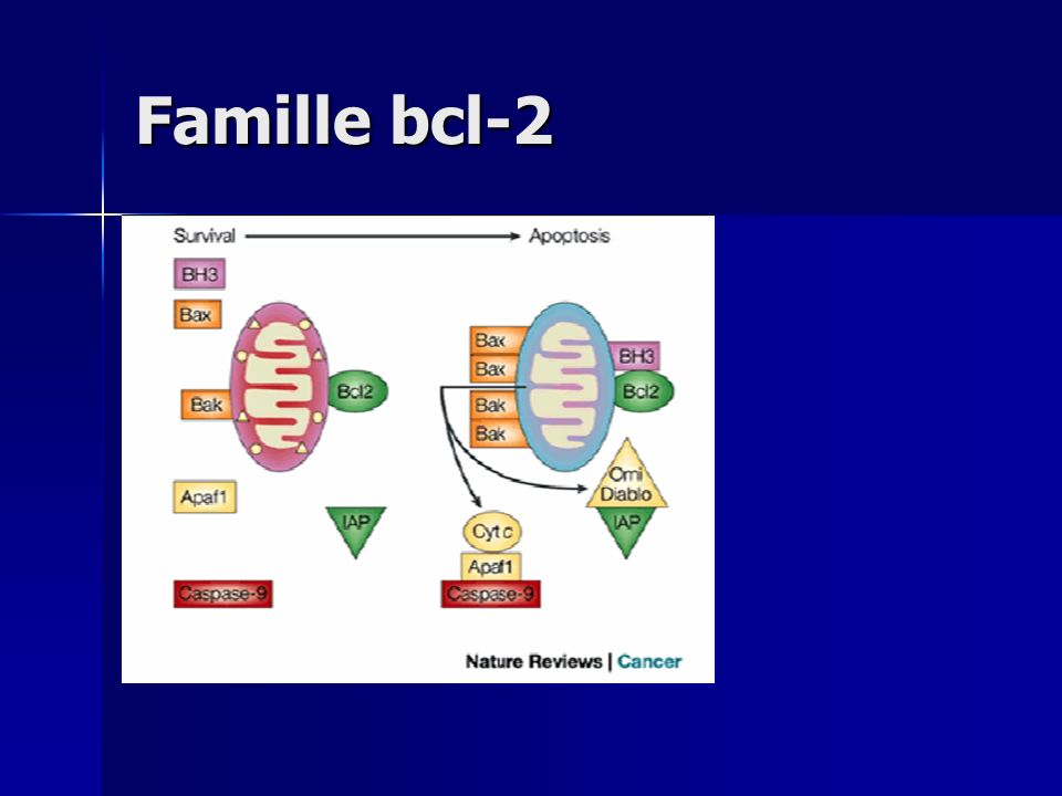 Famille bcl-2