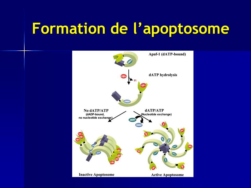 Formation de l'apoptosome
