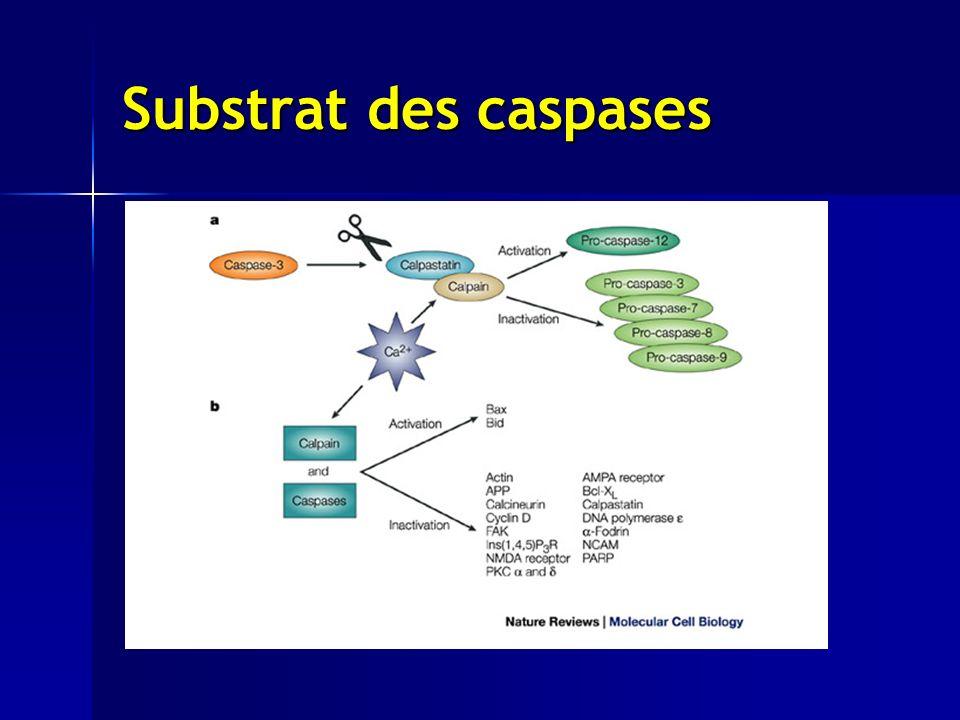 Substrat des caspases