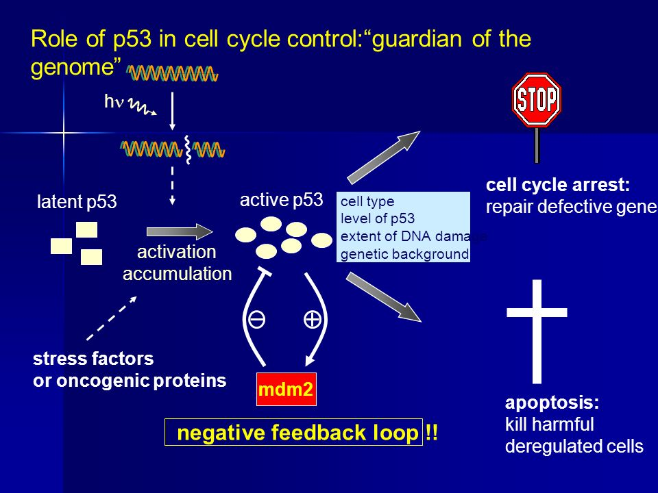 Role of p53 in cell cycle control: guardian of the genome