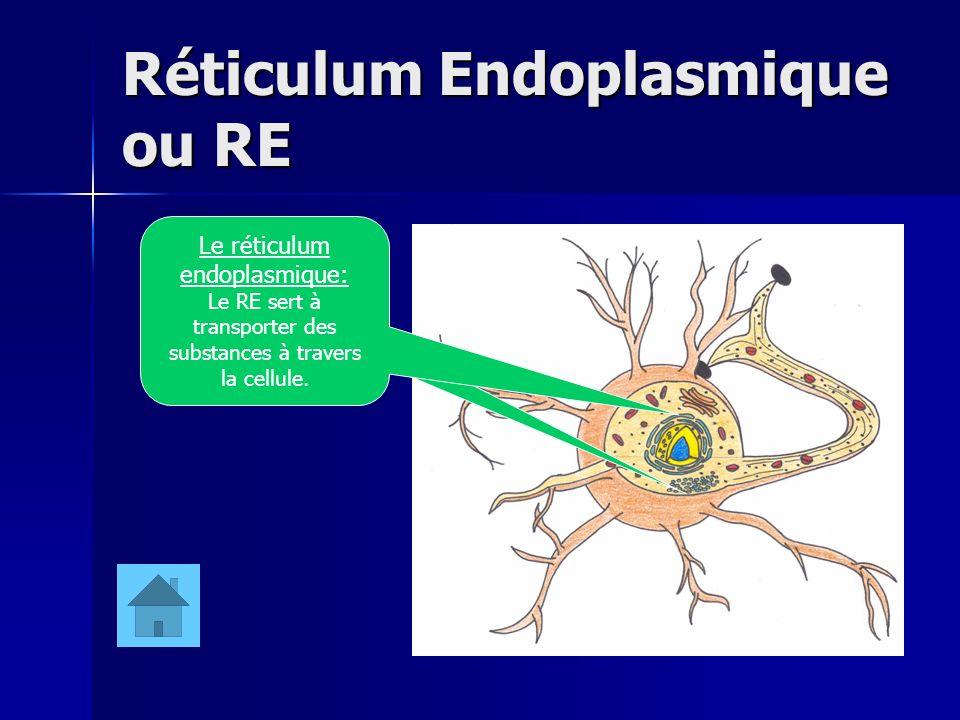 Réticulum Endoplasmique ou RE
