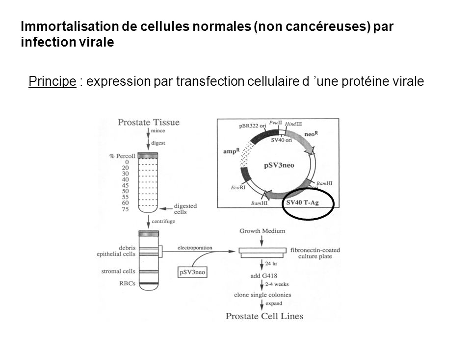 Immortalisation de cellules normales (non cancéreuses) par infection virale