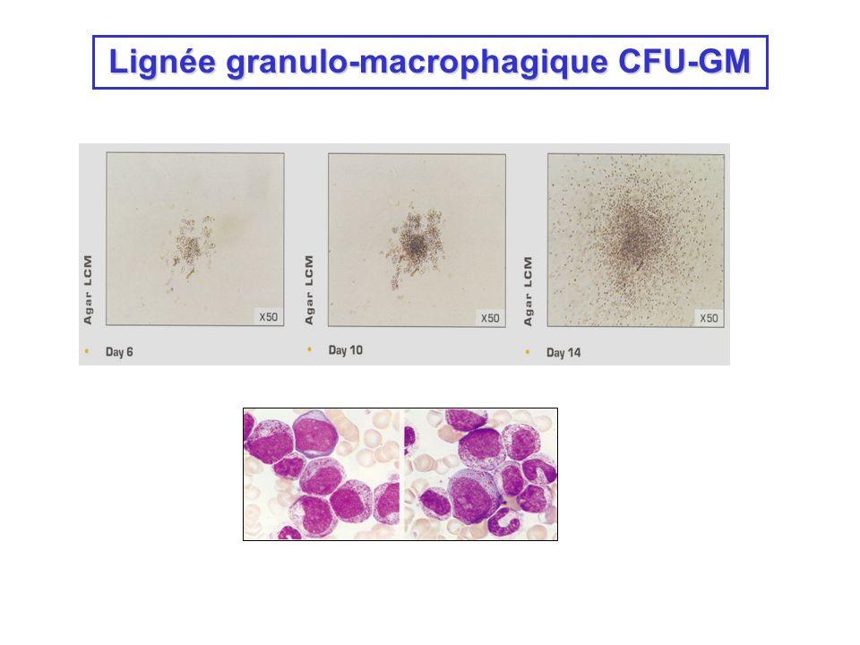 Lignée granulo-macrophagique CFU-GM
