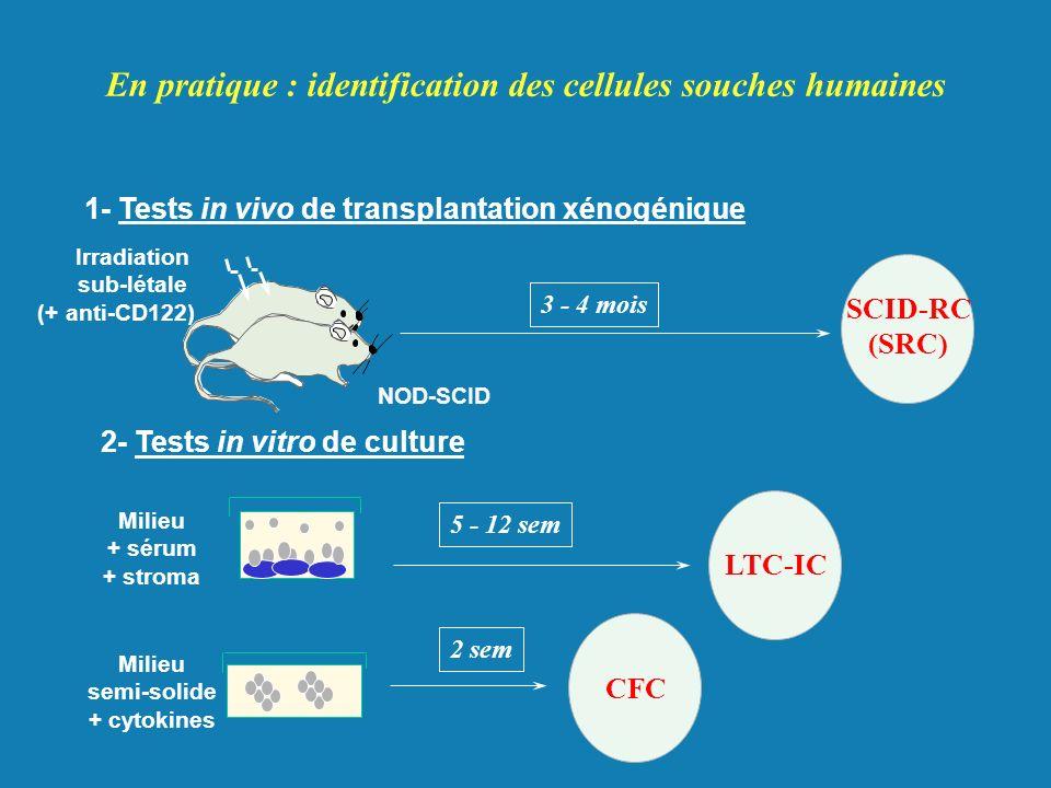 En pratique : identification des cellules souches humaines