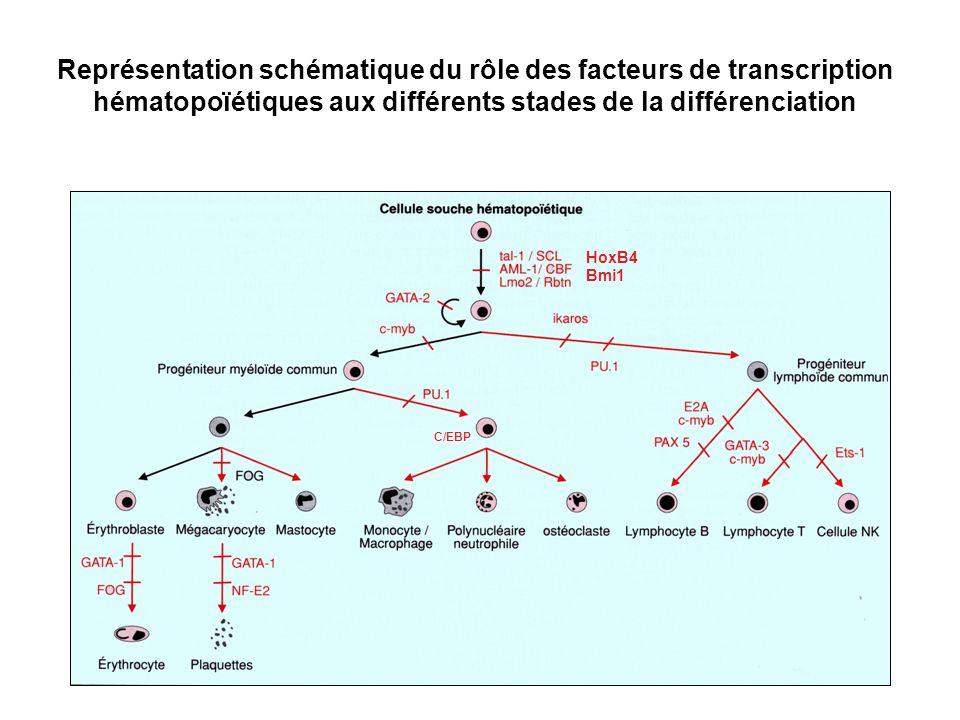 Représentation schématique du rôle des facteurs de transcription