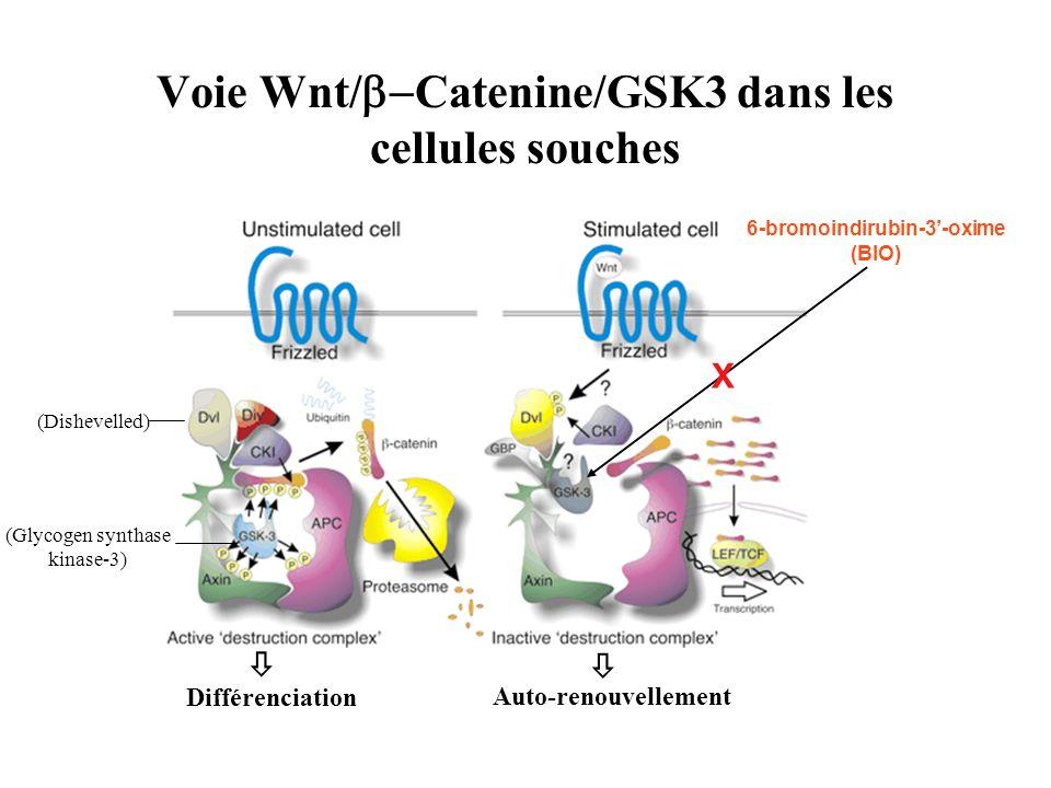 Voie Wnt/bCatenine/GSK3 dans les cellules souches