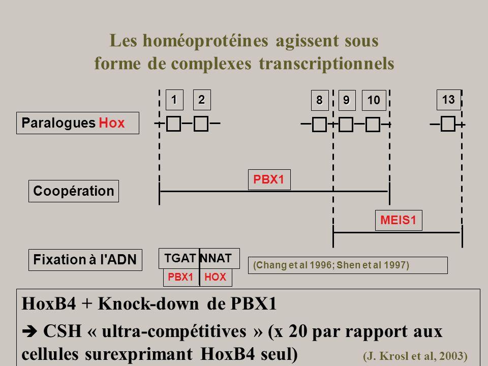Les homéoprotéines agissent sous forme de complexes transcriptionnels