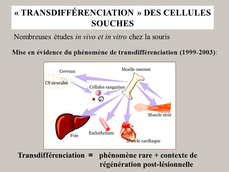 « TRANSDIFFÉRENCIATION » DES CELLULES SOUCHES