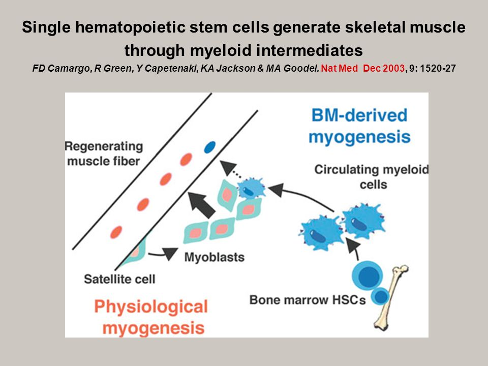 Single hematopoietic stem cells generate skeletal muscle through myeloid intermediates FD Camargo, R Green, Y Capetenaki, KA Jackson & MA Goodel.