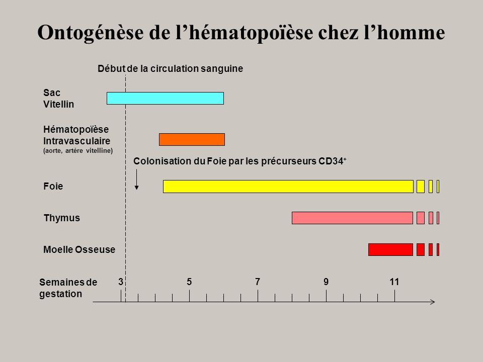 Ontogénèse de l'hématopoïèse chez l'homme