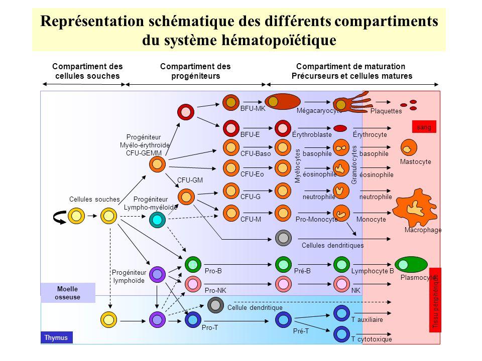 Représentation schématique des différents compartiments du système hématopoïétique