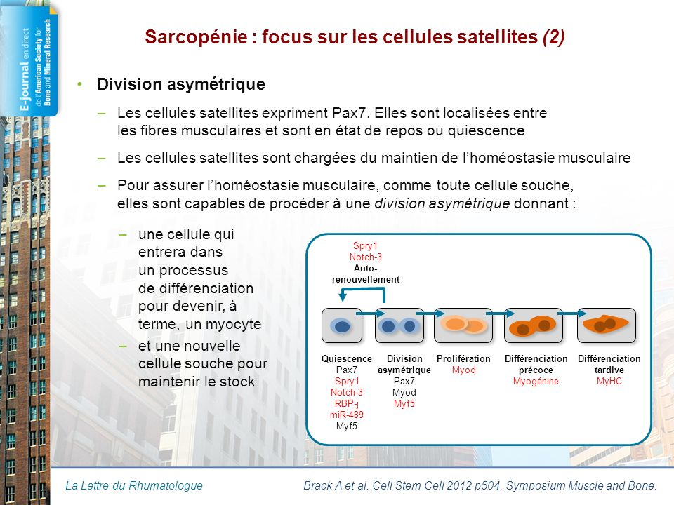 Sarcopénie : focus sur les cellules satellites (3)