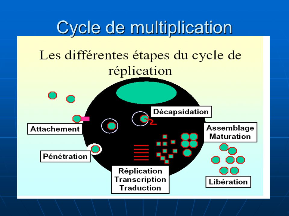 Cycle de multiplication