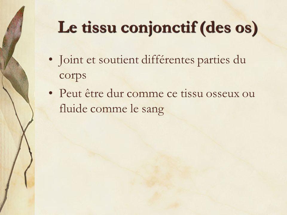Le tissu conjonctif (des os)