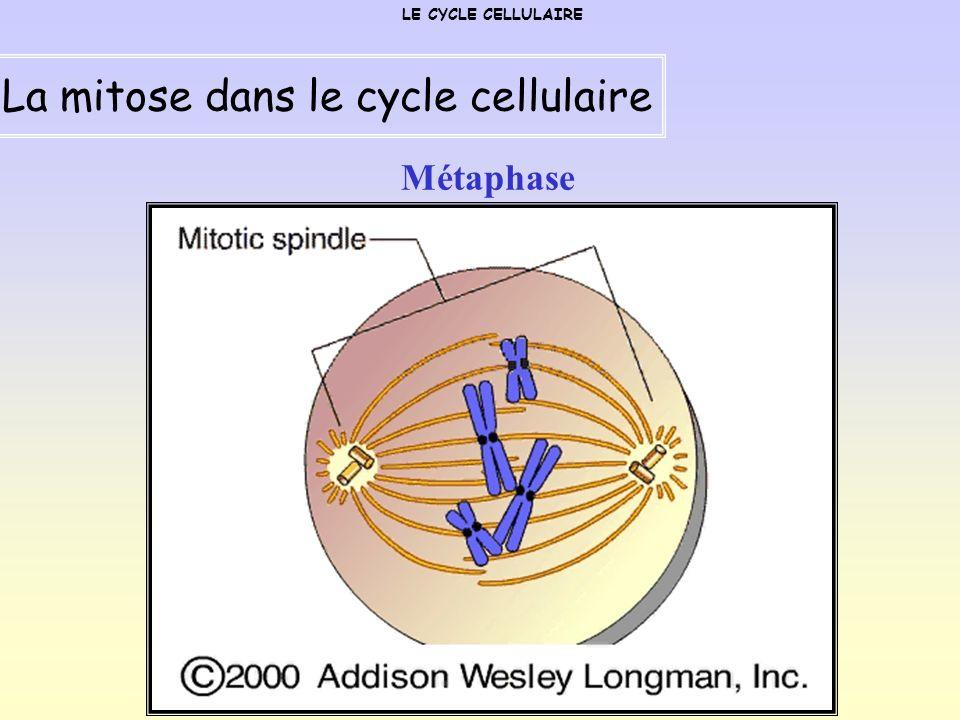 La mitose dans le cycle cellulaire
